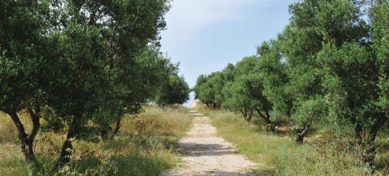 Kreta, Olivenbäume, Dot Travel, Organisierte Gruppenreise, Studienreise, Arche Noah Reisen