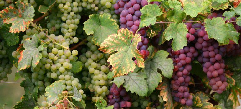 Elsass, Wein, www.pixabay.com, Pilgerreisen Frankreich, Monsignore Wilfried Schumacher