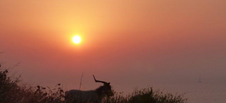 Ziege in der Abendsonne auf Stromboli, Foto: Andreas Pehl, Studienreise Liparische Inseln, Organisation Gruppenreisen