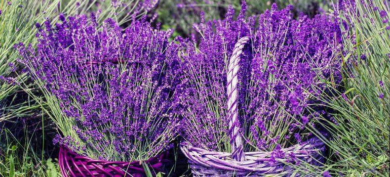 Lavendel, Provence, www.pixabay.com, Sprachreise Frankreich 2019, KEB Saarbrücken